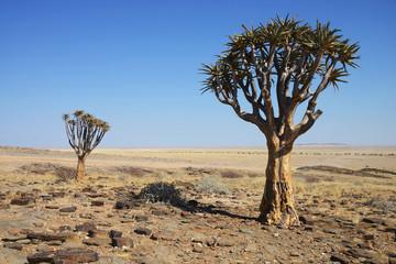 Quiver Tree, Namib Naukluft National Park, Namibia