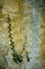 green ivy larre on wall at spring time