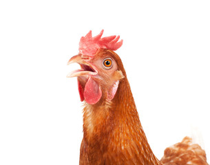 close up of chicken head funny acting isolated white background