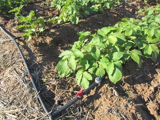 potato plants with drip irrigation