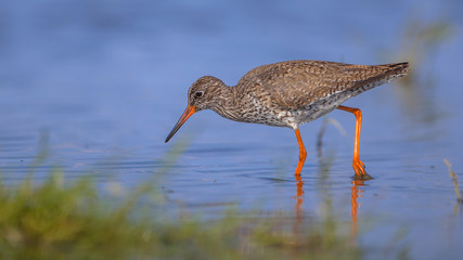 Common Redshank in shallow water