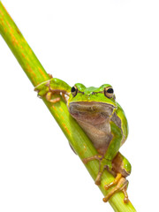 Green European Tree frog frontal diagonal