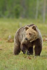 Brown bear in the bog, North Karelia, Finland