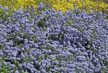 ceanothe bleue