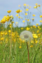 fleur de pissenlit et boutons d'or