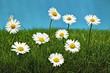 canvas print picture - Gaensebluemchen im gruenen Gras