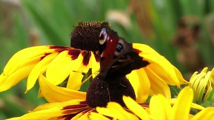 Schmetterling mit Störenfried