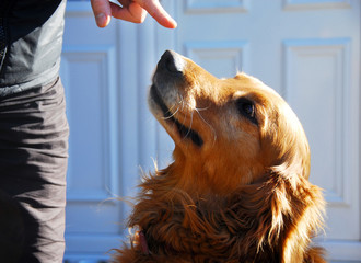 Guilty golden retriever dog portrait