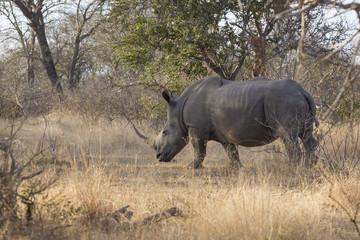 White rhinoceros - square-lipped rhinoceros (Ceratotherium simu