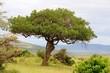 Leberwurstbaum mit Früchten in der Masai Mara - Kenia