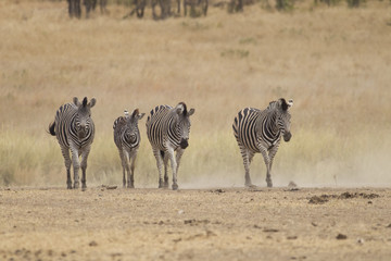 Family of Burchell's zebra (Equus quagga burchellii)
