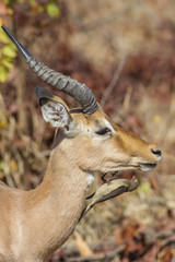 Profiles - Red-billed oxpecker, Impala (Buphagus erythrorhynchus