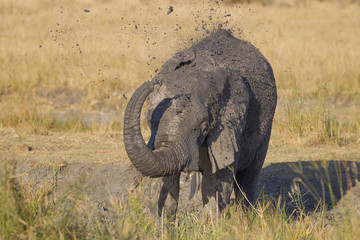 Mud shower - African elephant (Loxodonta africana)