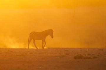 Burning sunset - Burchell's zebra (Equus quagga burchellii)