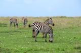 Zebras mit Jungtieren in der Masai Mara - Kenia