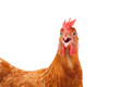 head of chicken hen shock and funny surprising isolated white ba - 77261505