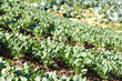 fresh chinese kale vegetable on farm