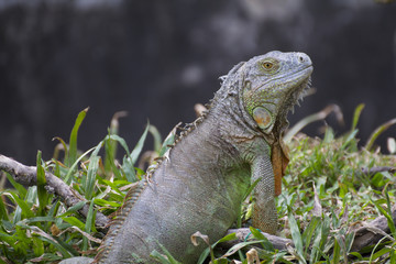 Big green iguana climbing on grass