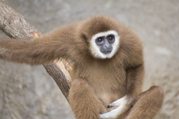 Brown gibbon sitting on the branch