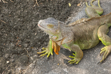 Big green iguana climbing on the ground