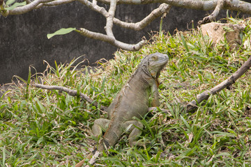 Big green iguana climbing on grass