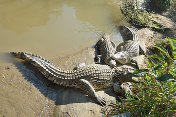 Вьетнам, крокодилы