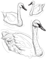 Swan sketches