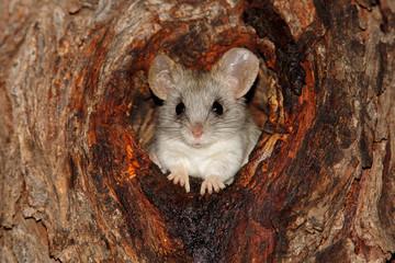 Acacia tree rat (Thallomys paedulcus)