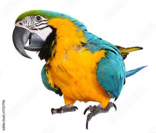 Blue and Gold Macaw - 77277116