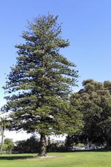 Century old Norfolk Island Pine, Camarillo, CA
