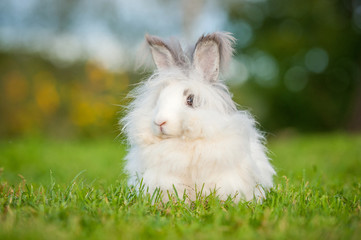 Beautiful fluffy white angora rabbit sitting outdoors in summer