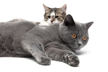 two cats lying on a white background close-up