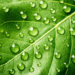 canvas print picture - Green leaf with drops of water