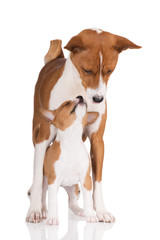 basenji dog with her puppy