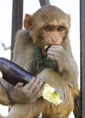 Monkey eating vegitable
