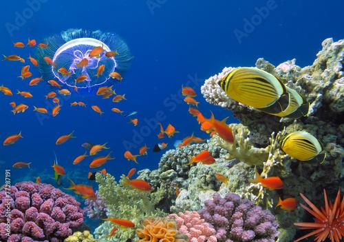fototapeta na ścianę Koral i ryby w Morzu Czerwonym. Egipt