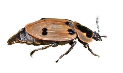 Beetle (Silphidae) 2