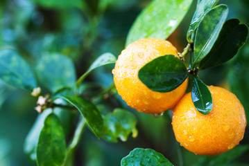 Small orange tree