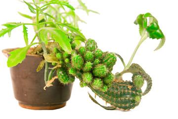 Cactus in brown pot