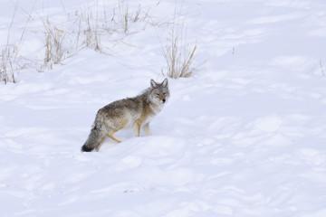 Winter Snow coyote