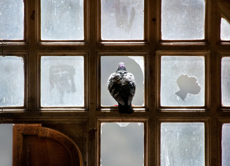 pigeon looking out of a broken window