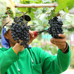 man worker picking grape during harvest
