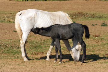 Thoroughbred mare and foal breastfeeding in the field rural scen
