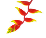 heliconia flower isolated on white background - 77308739