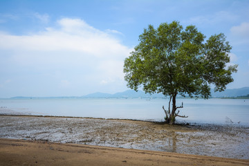 one mangrove tree in mangrove forest