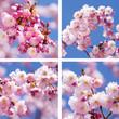 canvas print picture - Sandwich aus Kirschblüten und Mandelblüten