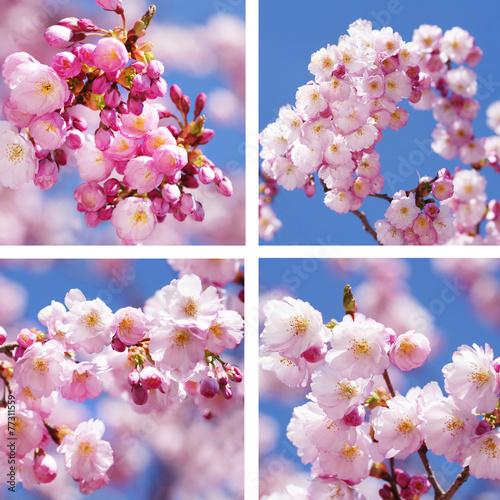 canvas print picture Sandwich aus Kirschblüten und Mandelblüten