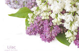 Lilac flowers isolated on white with sample text