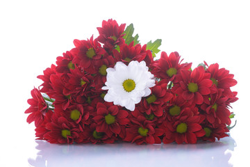 red and white chrysanthemums