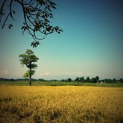 Savanna with tree and Himalayas range at horizont